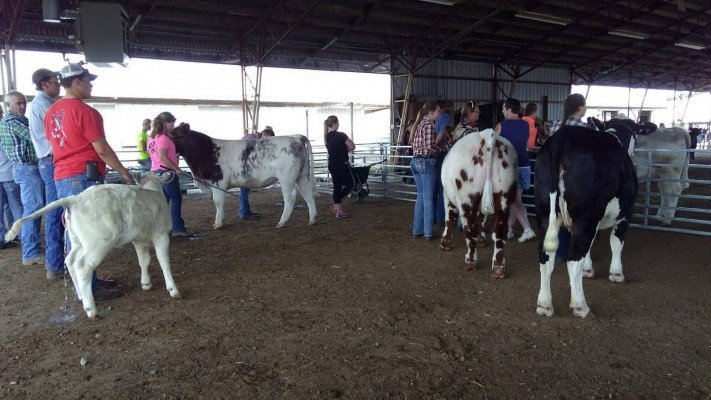 4-H Youth Show - Cows